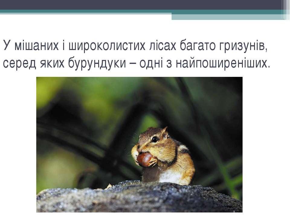 У мішаних і широколистих лісах багато гризунів, серед яких бурундуки – одні з...