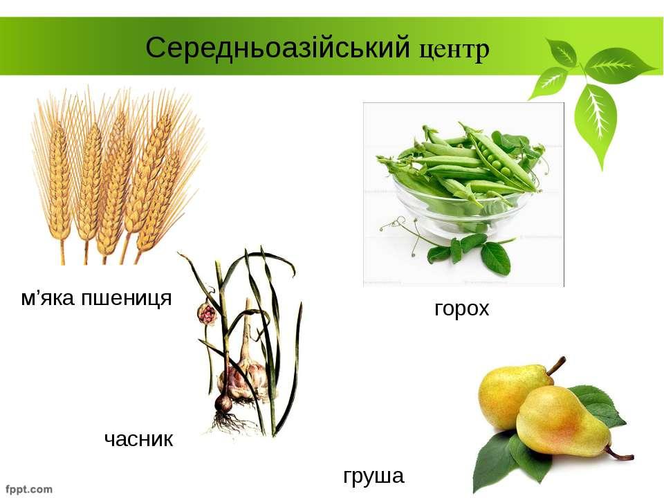 горох Середньоазійський центр м'яка пшениця груша часник