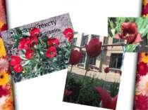 Навесні, біля школи, першими розквітають тюльпани та нарциси. Вони радіють св...