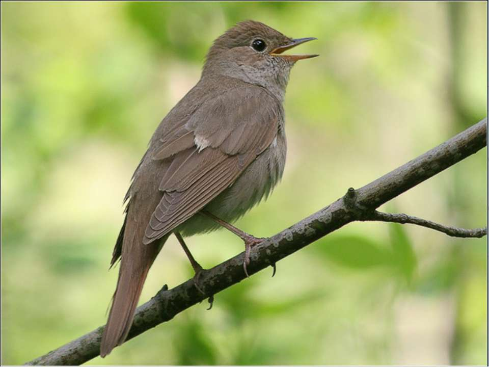 Маленький, сіренький, по гаях літає, уночі співає.