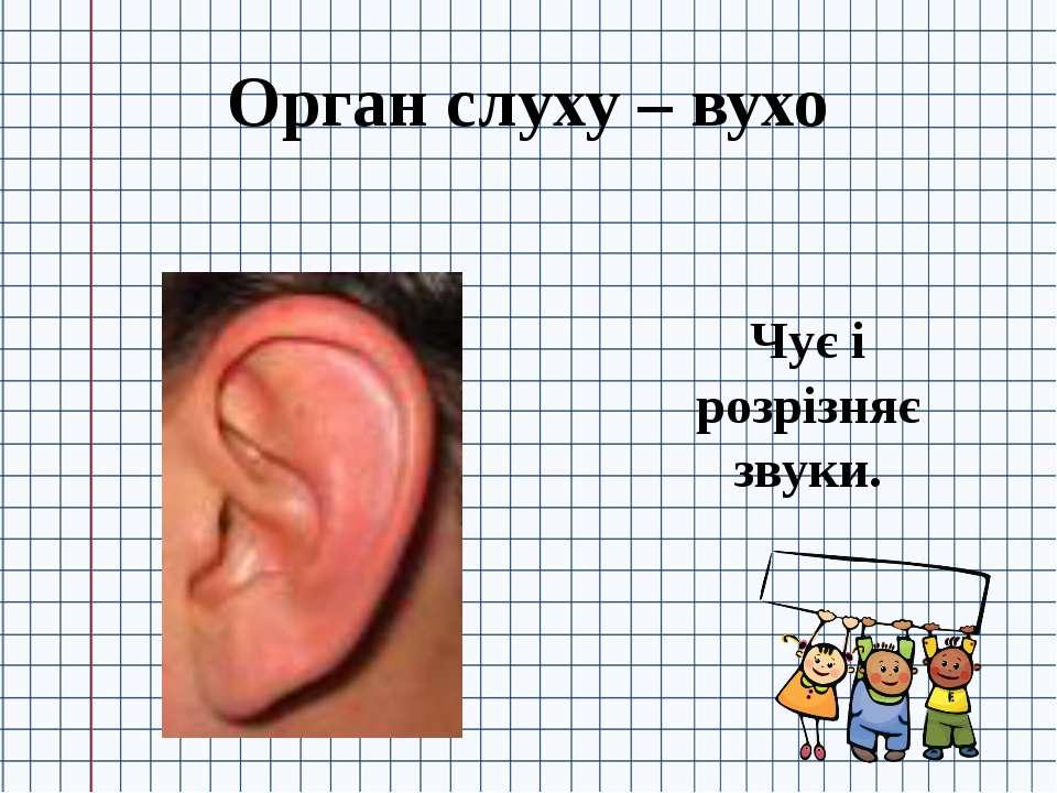 Орган слуху – вухо Чує і розрізняє звуки.