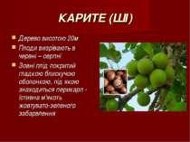 КАРИТЕ (ШІ) Дерево висотою 20м Плоди визрівають в червні – серпні Зовні плід ...