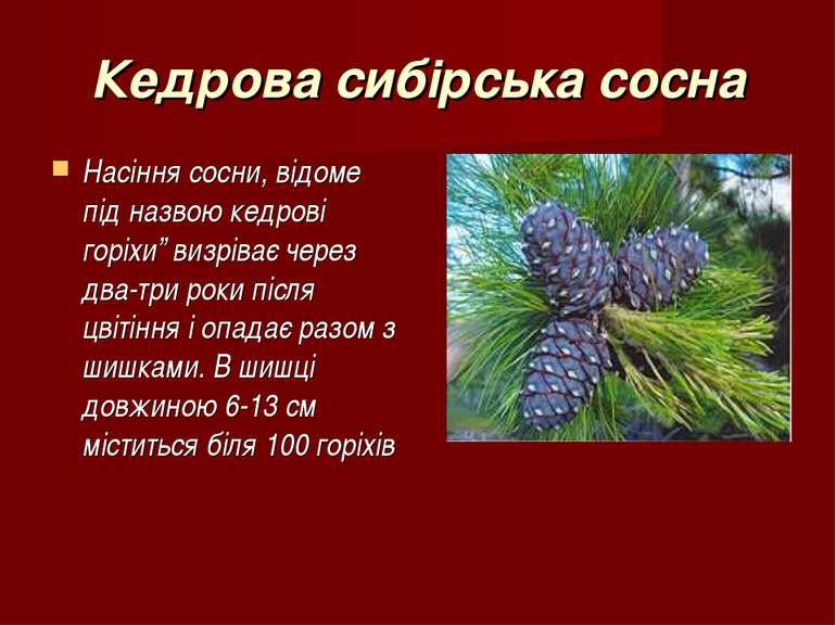 """Кедрова сибірська сосна Насіння сосни, відоме під назвою кедрові горіхи"""" визр..."""
