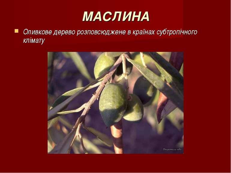 МАСЛИНА Оливкове дерево розповсюджене в країнах субтропічного клімату