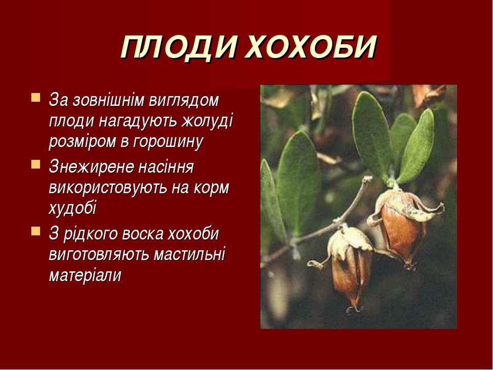 ПЛОДИ ХОХОБИ За зовнішнім виглядом плоди нагадують жолуді розміром в горошину...