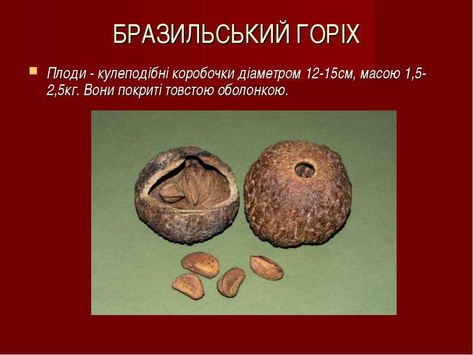БРАЗИЛЬСЬКИЙ ГОРІХ Плоди - кулеподібні коробочки діаметром 12-15см, масою 1,5...