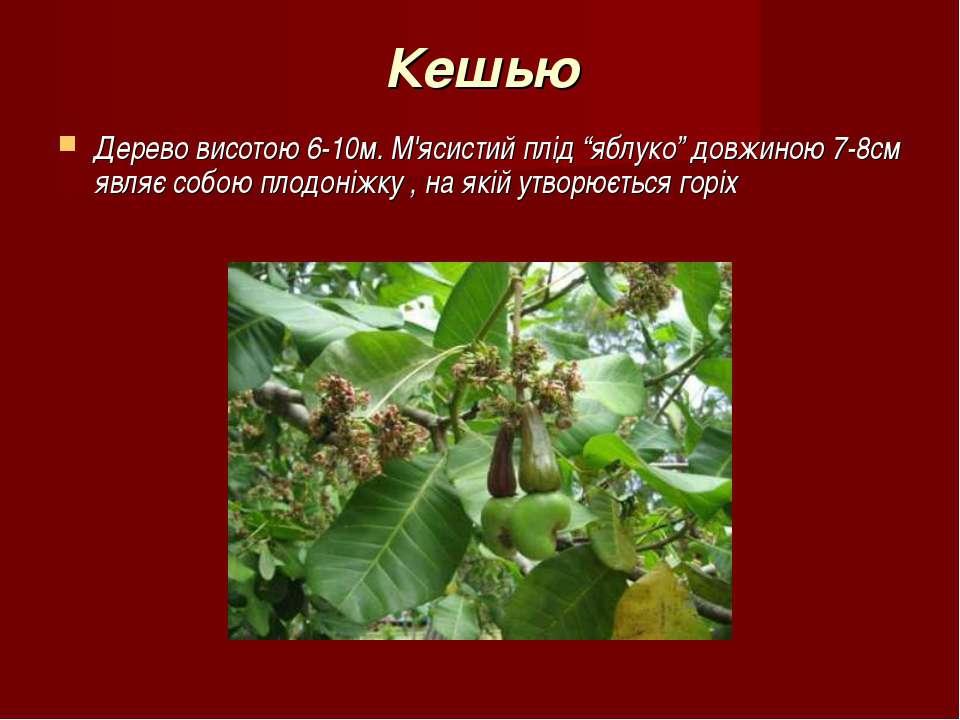 """Кешью Дерево висотою 6-10м. М'ясистий плід """"яблуко"""" довжиною 7-8см являє собо..."""