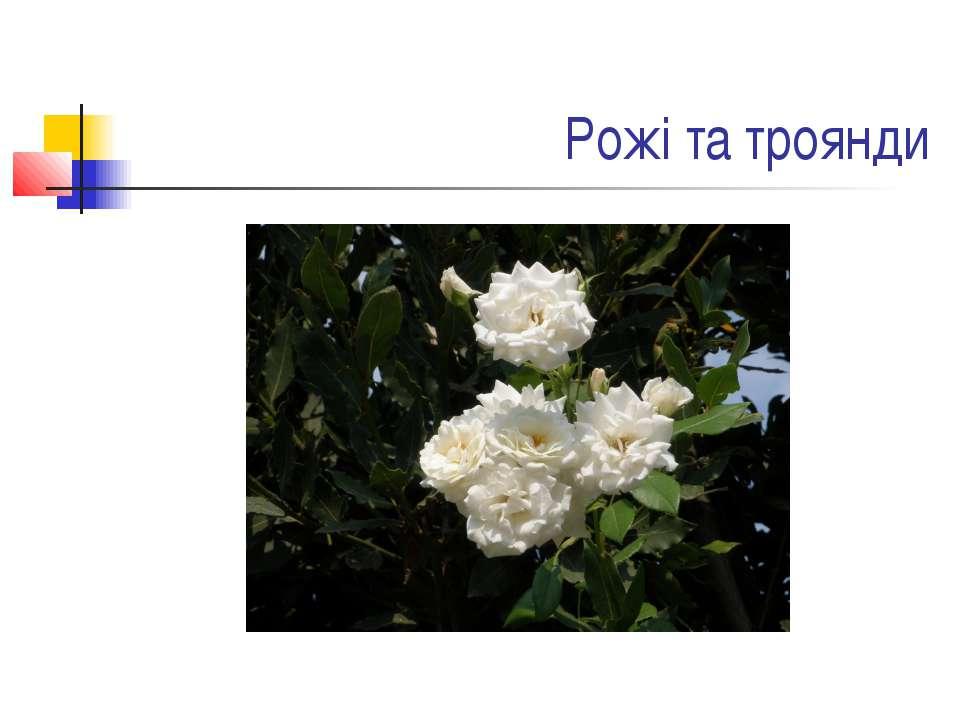 Рожі та троянди