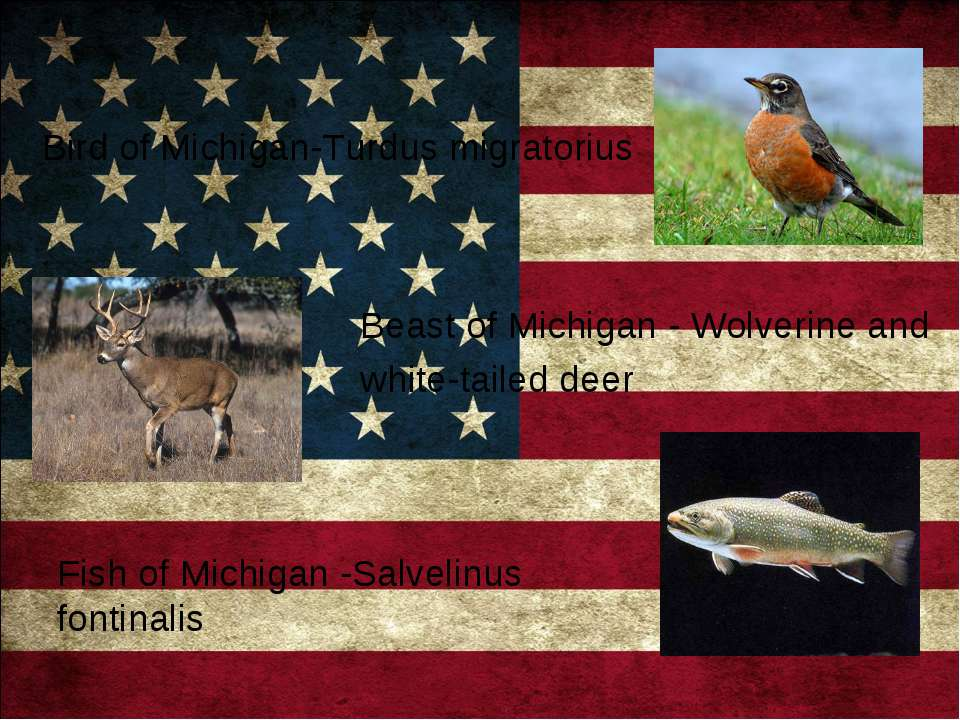 Bird of Michigan-Turdus migratorius Beast of Michigan - Wolverine and white-t...
