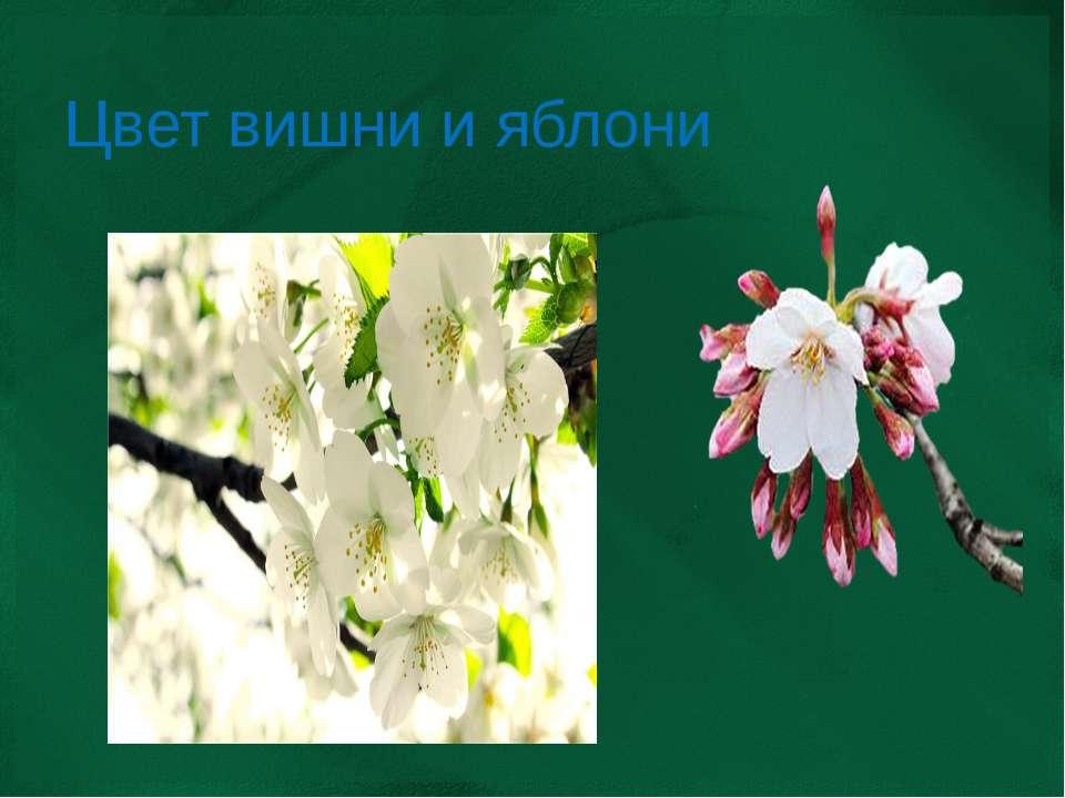 Цвет вишни и яблони