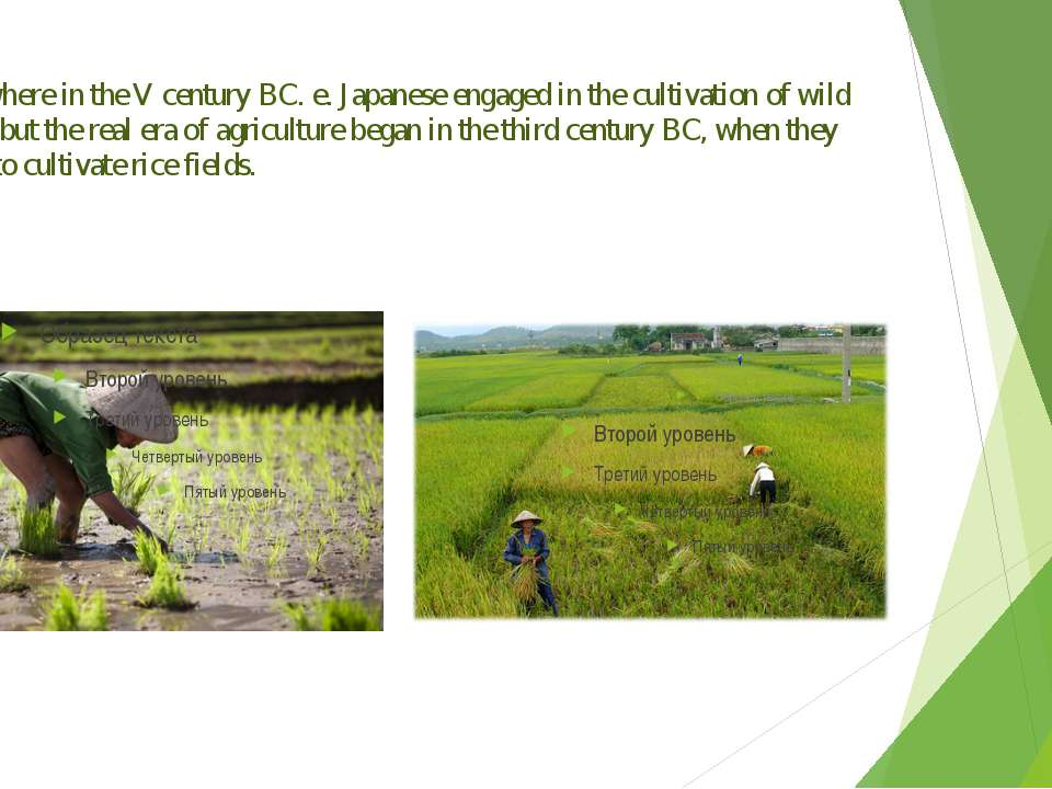 Somewhere in the V century BC. e. Japanese engaged in the cultivation of wild...