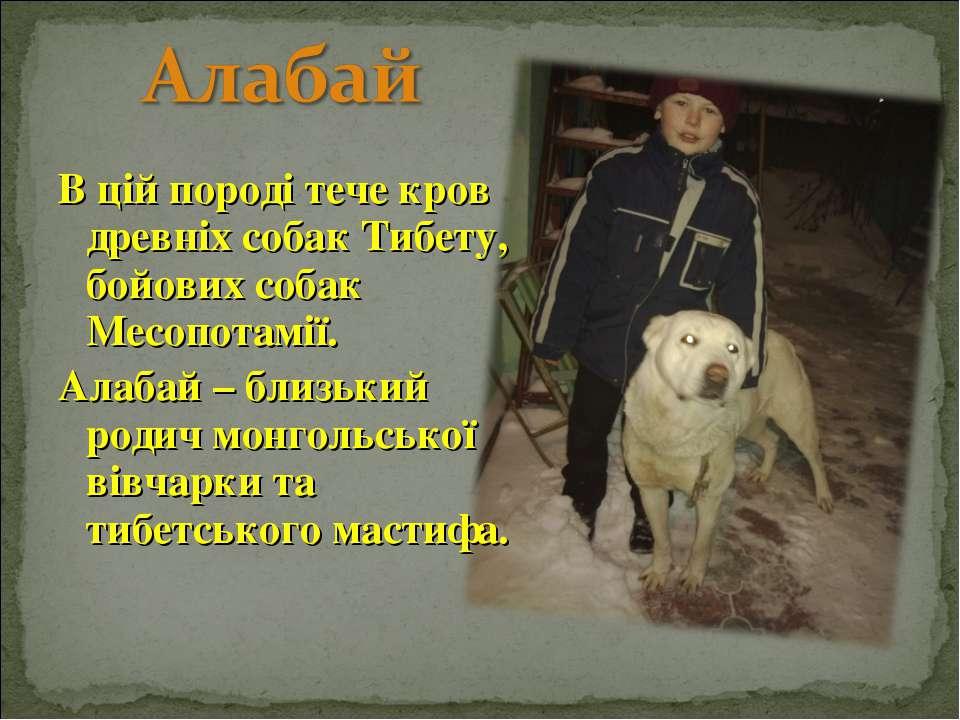 В цій породі тече кров древніх собак Тибету, бойових собак Месопотамії. Алаба...