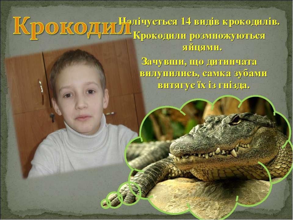 Налічується 14 видів крокодилів. Крокодили розмножуються яйцями. Зачувши, що ...