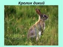 Кролик дикий