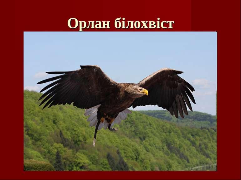 Орлан білохвіст