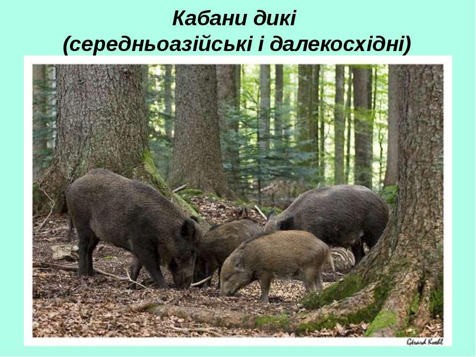 Кабани дикі (середньоазійські і далекосхідні)