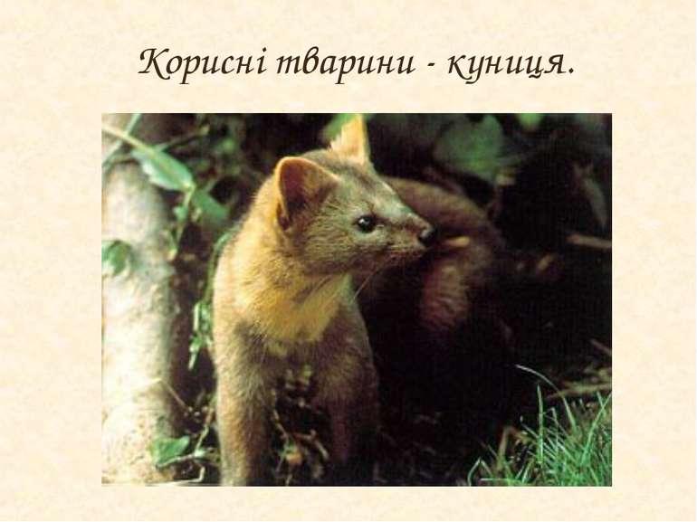 Корисні тварини - куниця.