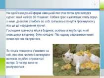 На одній канадській фермі німецький пес став татом для виводка курчат, який н...