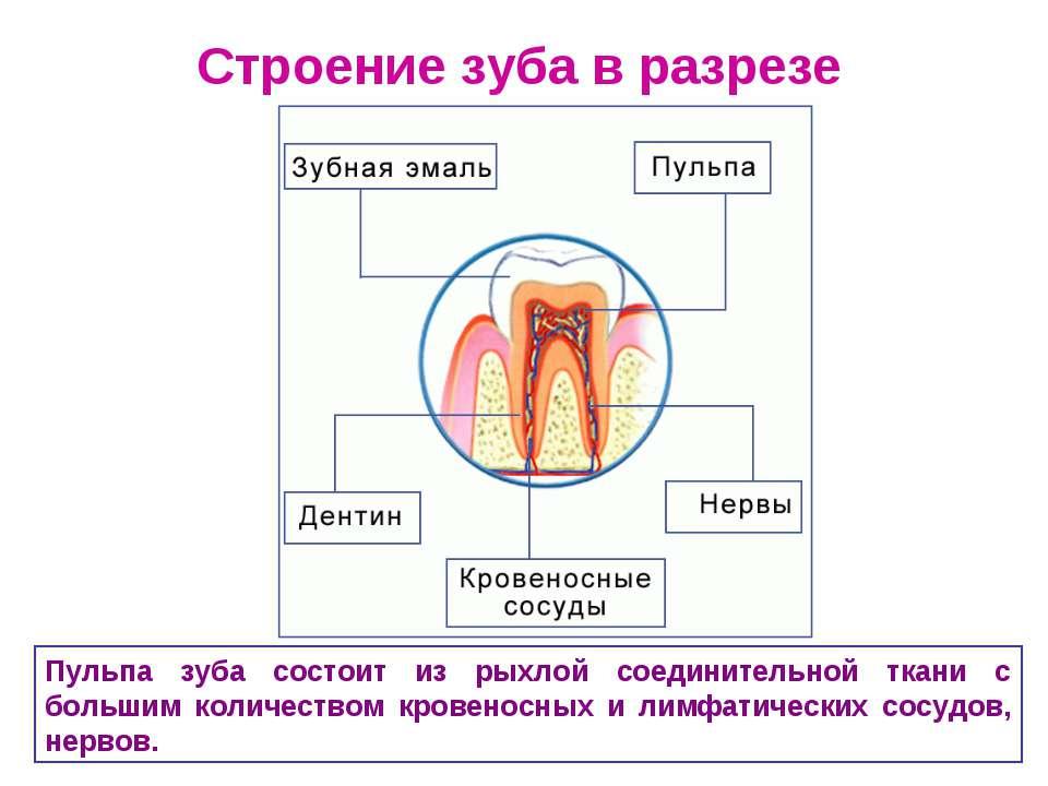 Строение зуба в разрезе Пульпа зуба состоит из рыхлой соединительной ткани с ...