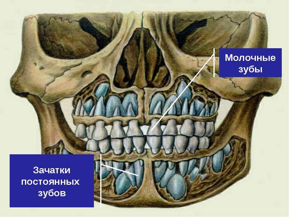 Молочные зубы Зачатки постоянных зубов