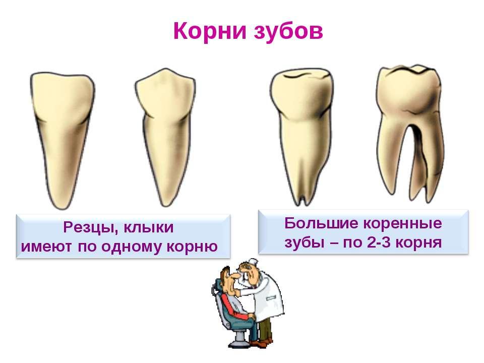 Какой у вас корень зуба