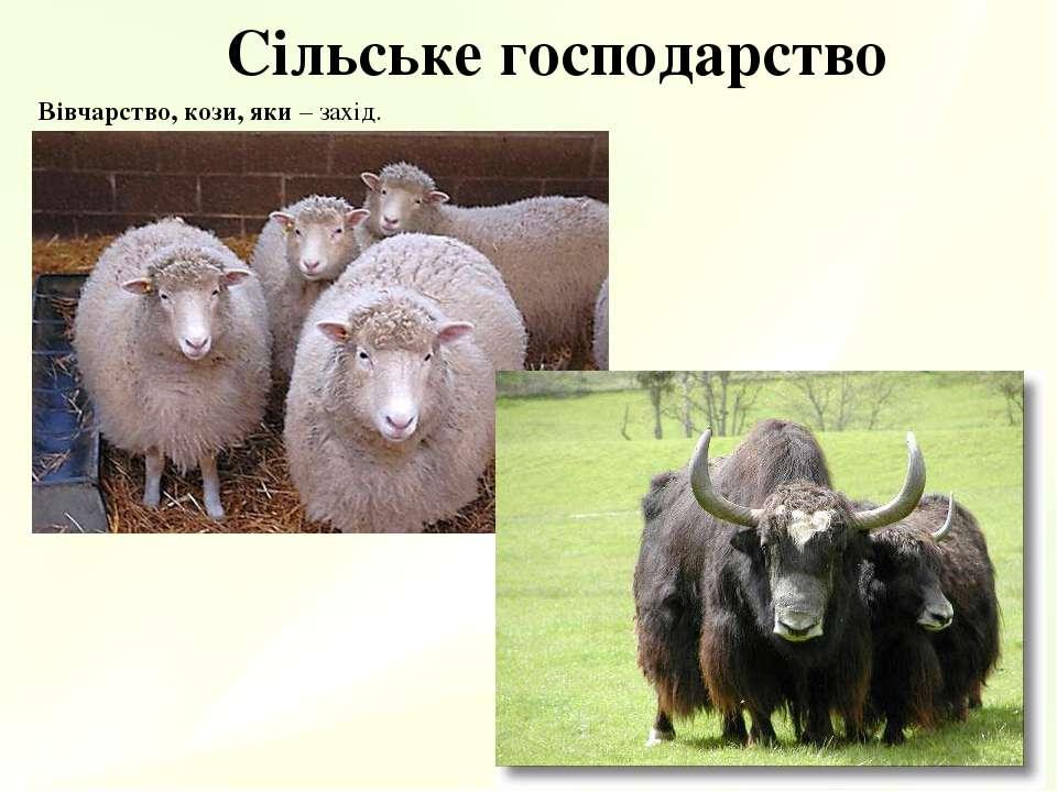 Сільське господарство Вівчарство, кози, яки – захід.