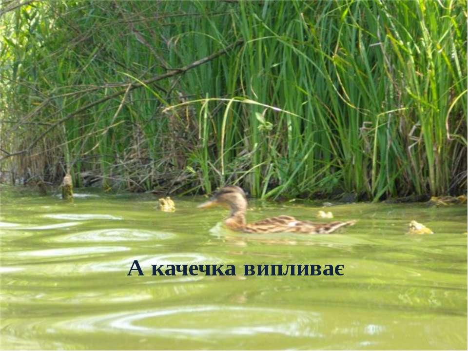 А качечка випливає