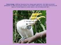 Папуга Какаду. Найбільш товариські птахи. Какаду дуже допитливі, легко йдуть ...