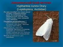 Американський білий метелик Hyphantria cunea Drury (Lepidoptera, Arctiidae) Р...