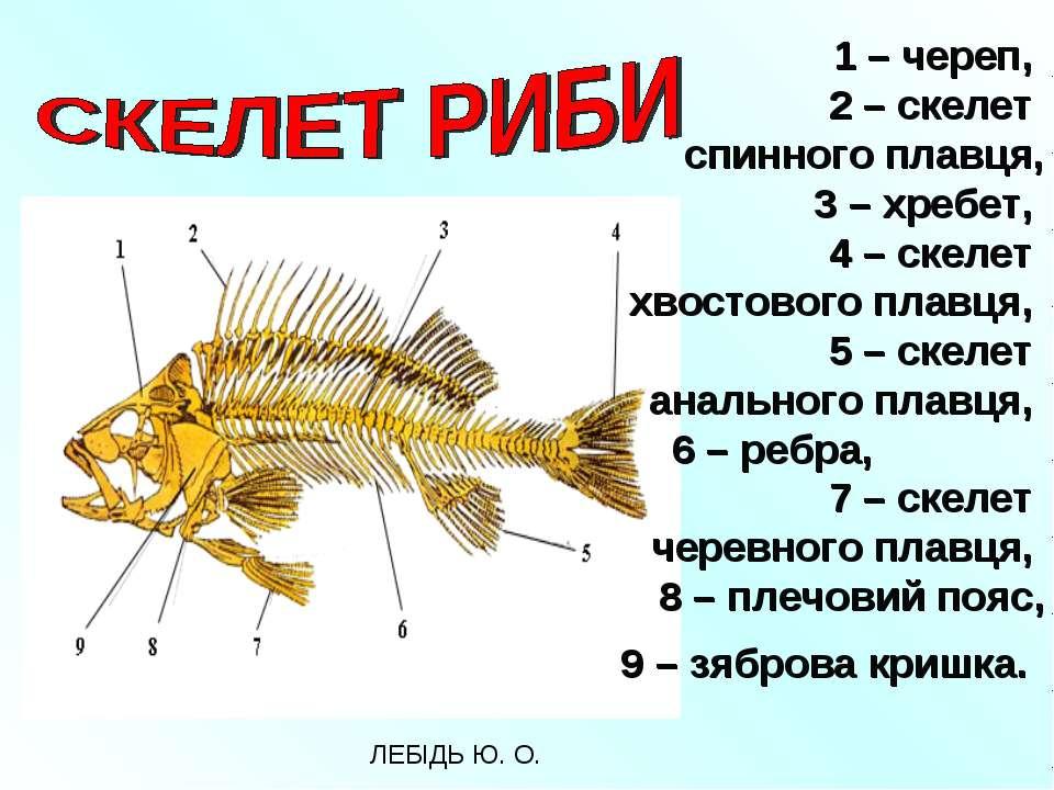 1 – череп, 2 – скелет спинного плавця, 3 – хребет, 4 – скелет хвостового плав...