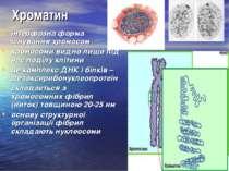 Хроматин інтерфазна форма існування хромосом хромосоми видно лише під час под...