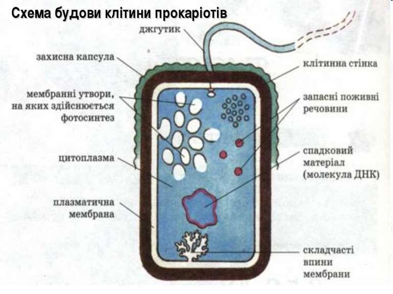 Схема будови клітини прокаріотів