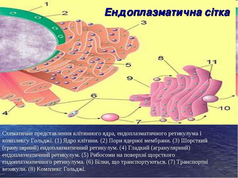 Схематичне представлення клітинного ядра, ендоплазматичного ретикулума і комп...