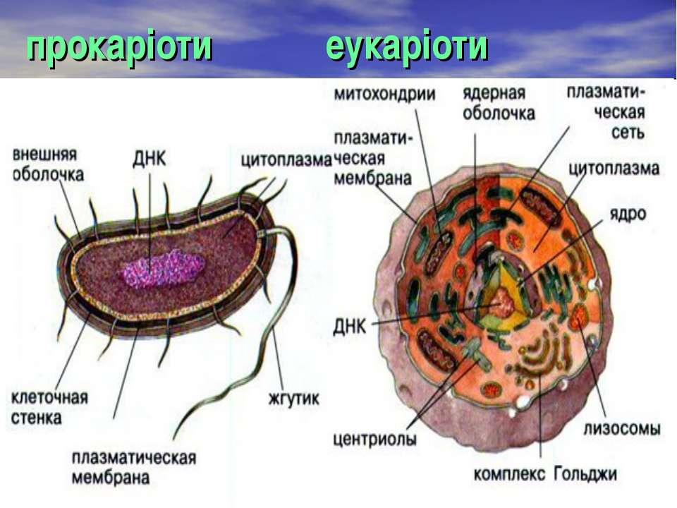 прокаріоти еукаріоти