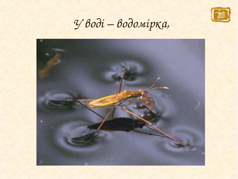 У воді – водомірка,