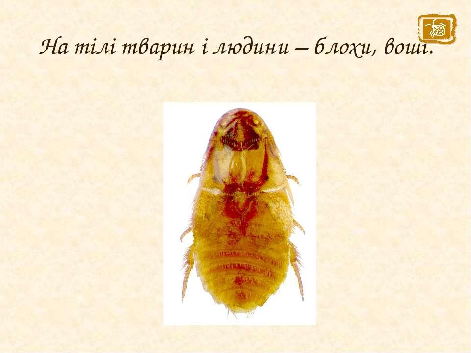 На тілі тварин і людини – блохи, воші.