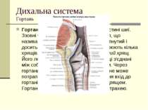 Дихальна система Гортань Гортань розташована на передній частині шиї. Ззовні ...