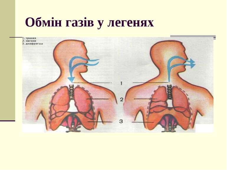 Обмін газів у легенях У легенях кисень з альвеолярного повітря переходить у к...