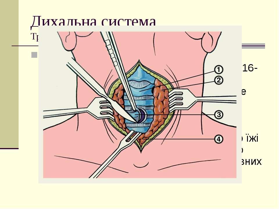 Дихальна система Трахеї Трахеярозташована у грудній клітці спереду від страв...