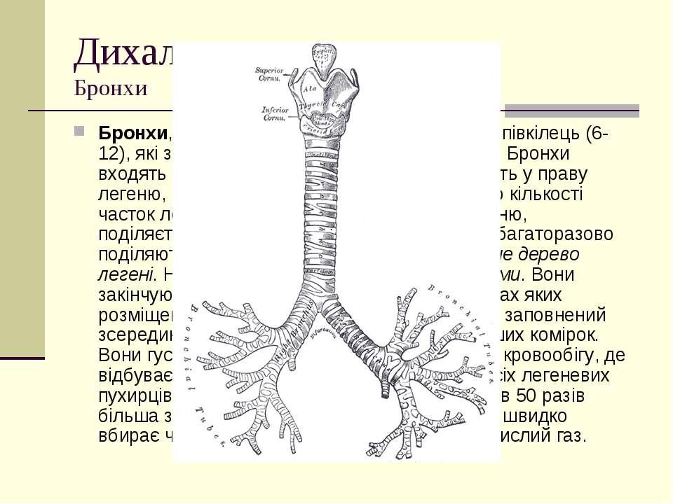 Дихальна система Бронхи Бронхи, як і трахея, складаються з хрящових півкілець...