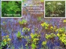 Розрив-трава Цикута