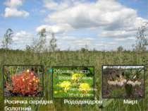 Росичка середня Рододендрон Мирт болотний