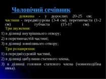Чоловічий сечівник довжина - у дорослих 20-25 см; частини - передміхурова (3-...