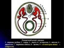 * Поперечний розріз зародка: 1 - нервова трубка; 2 - хорда; З – аорта; 4 - ск...