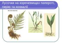 Лусочки на кореневищах папороті, пирію та конвалії