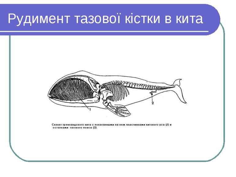 Рудимент тазової кістки в кита