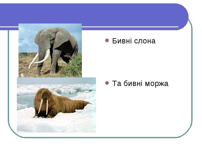 Бивні слона Та бивні моржа