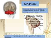 Кора півкуль Головний мозок є складним органом , хоча це однорідна маса але в...