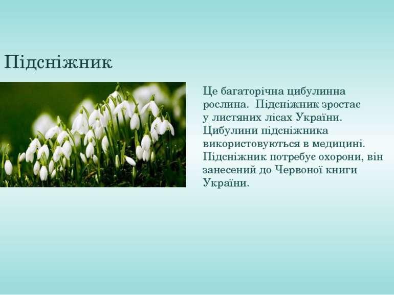 Підсніжник Це багаторічна цибулинна рослина. Підсніжник зростає улистяних л...