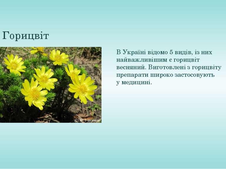 Горицвіт ВУкраїнівідомо 5 видів, із них найважливішим єгорицвіт весняний. ...